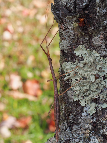 Northern Walkingstick