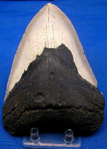 Megalodon Tooth 101