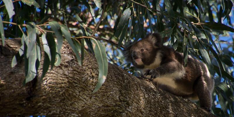 The koala baby