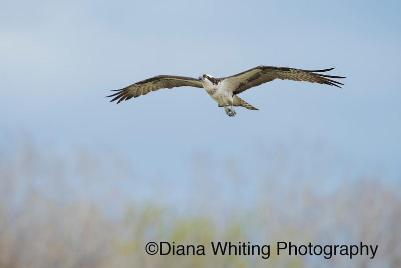 Osprey Flight.jpg