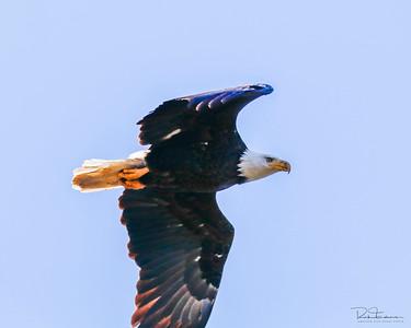 Bald Eagle ~ Atascadero CA