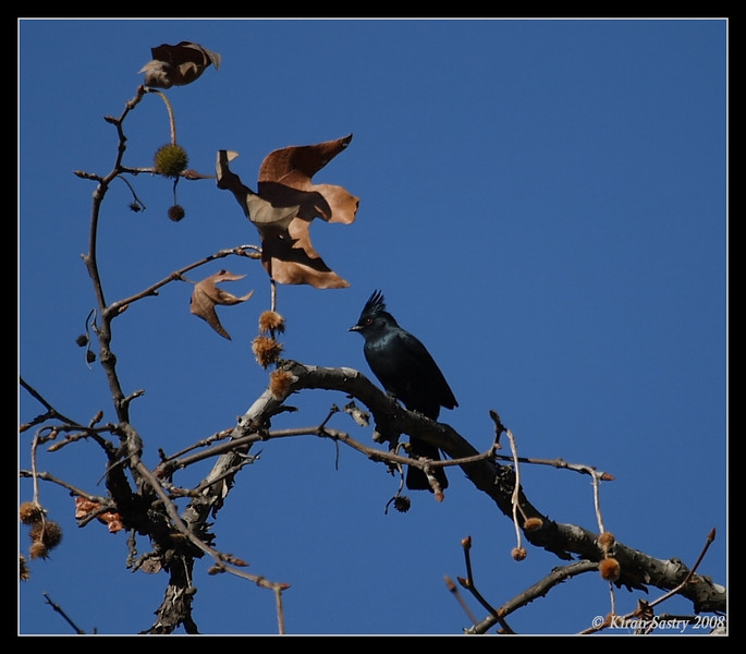 Phainopepla, Lopez Canyon, San Diego County, California, December 2008