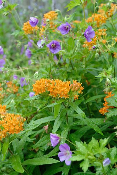 Butterfly Weed & Wild Geranium.jpg