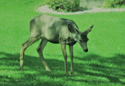 White Tail Deer in the front yard?
