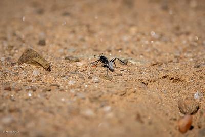 Ant, Karoo Balbyter Sugar