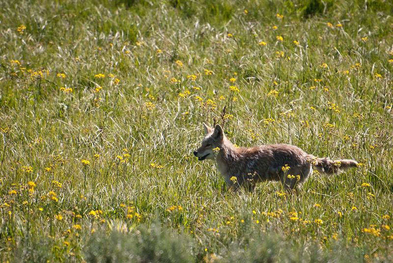 Coyote-025.jpg