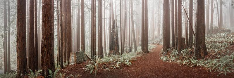 Path thru the Redwoods, Sea Ranch, California