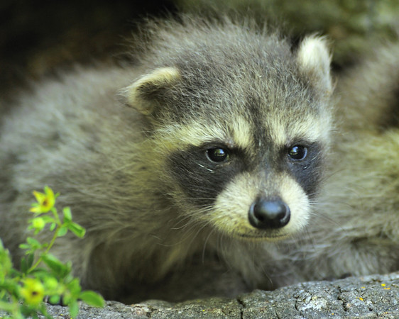 Racoons and Pocupines