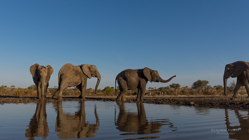African Elephant, Mashatu GR, Botswana, May 2017-46.jpg
