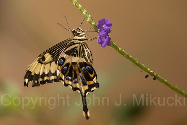 20130203 Butterflies at Natural History