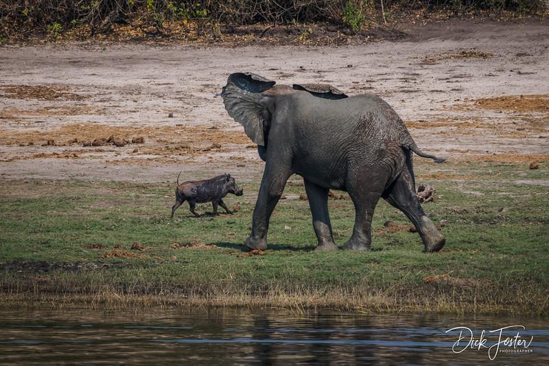 Elephant Chasing Warthog