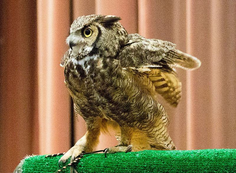 The Great Horned Owl begins to settle down.