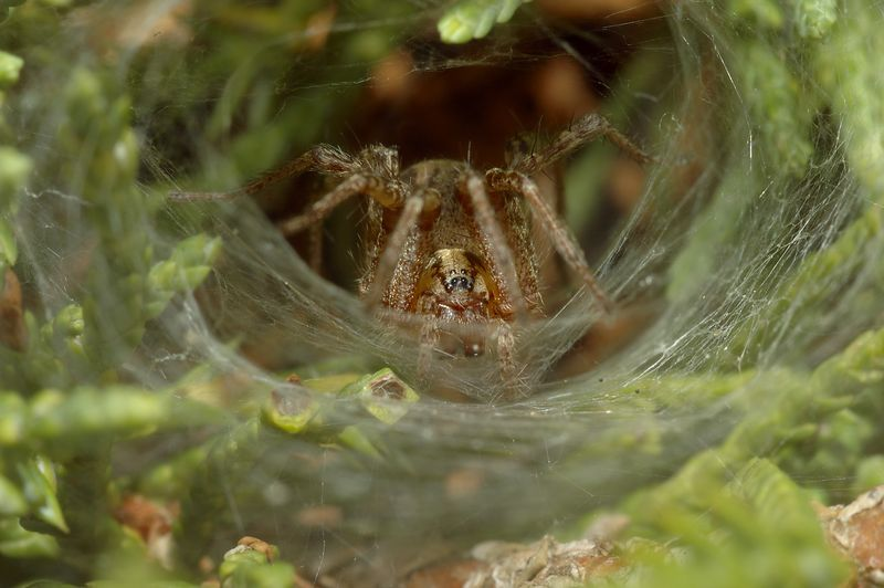 Female spider in her web.