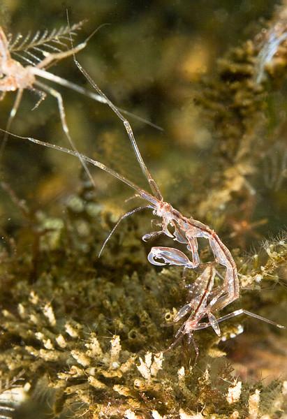 shrimp skeleton_dragon0742.jpg