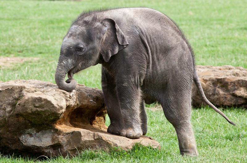 Baby Elephant Donna at Whipsnade Zoo_5008631855_o_8179384026_o.jpg