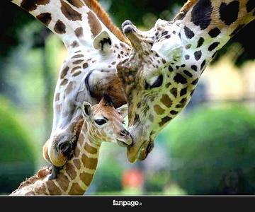 Giraffes Kiersten's favorite animal