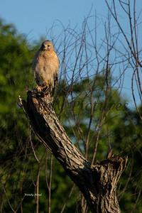 Hawk  003