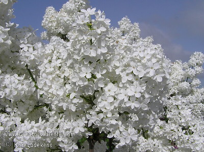 Crystal White™ Lilac - Syringa vulgaris 'Crystal White'