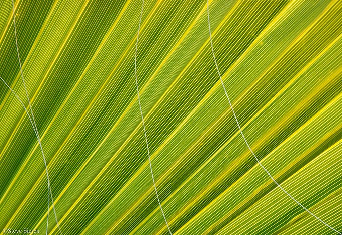 Death Valley Fan Palm detail 680b.jpg