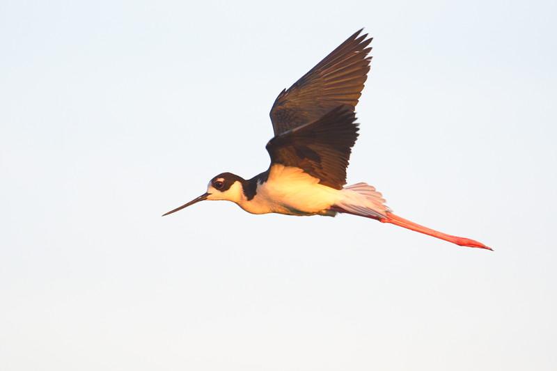 20190619_AnahuacNWR_Shovelers_Pond_Black-necked_Stilt_In-Flight_500_7945.jpg