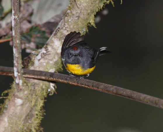 Warblers Ecuador