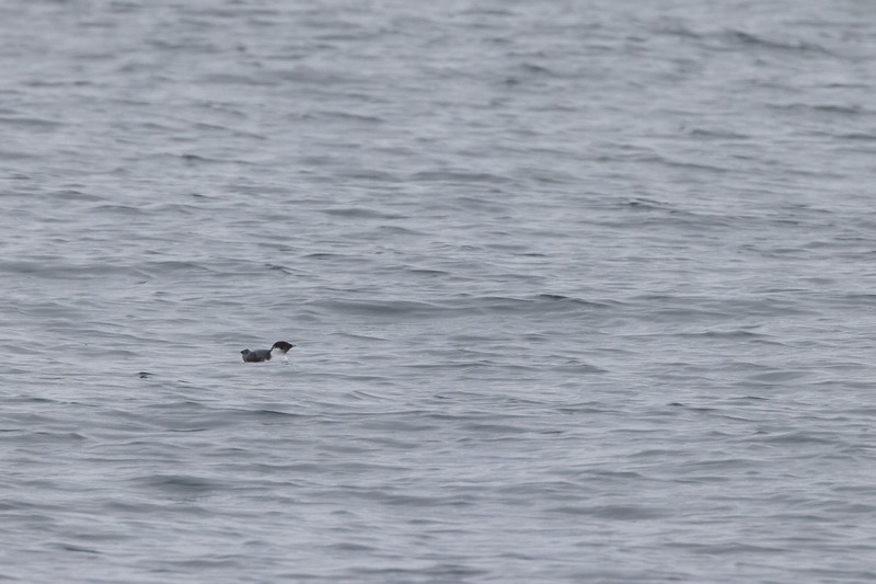 Ancient Murrelet off Stoney Point Lake Superior Lake County St. Louis County MN  IMGC7963.jpg