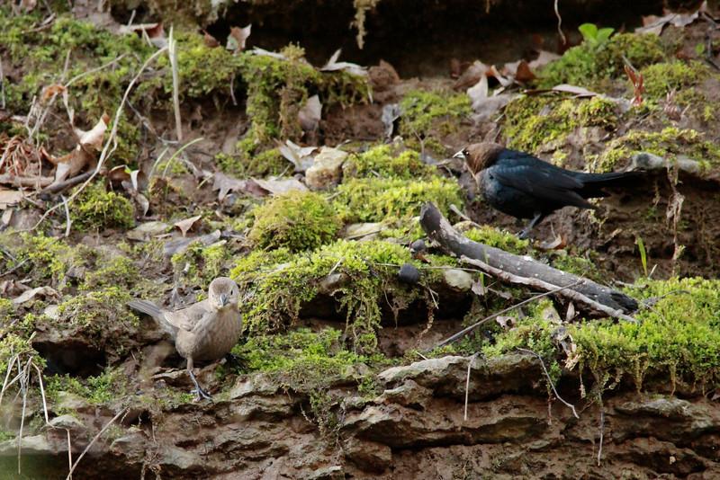 Brown-headed Cowbirds (Pair) @ Rockwoods Reservation