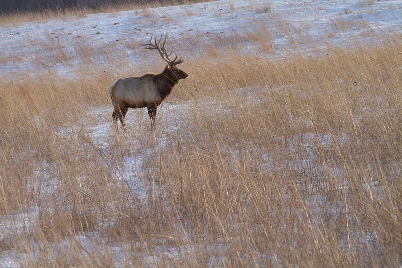 Elk bull Neal Smith National Wildlife Refuge NWR Prairie City IA  IMG_2314.jpg
