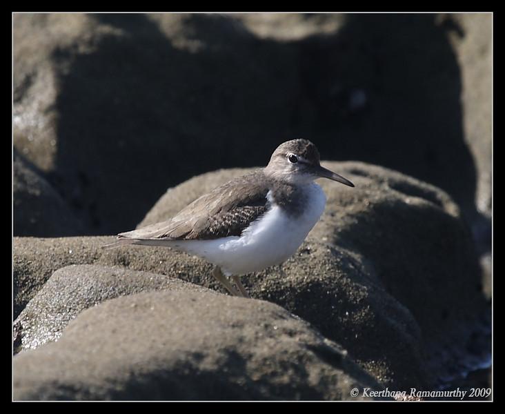Spotted Sandpiper, La Jolla Cove, San Diego County, California, February 2009