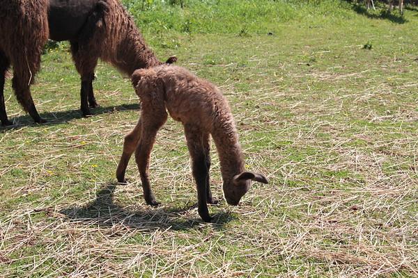 May 12, 2013 Llama Babies
