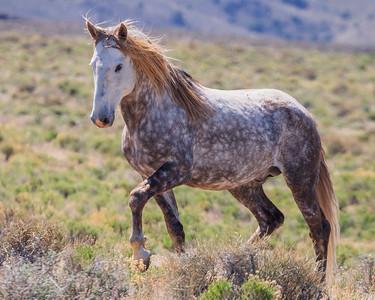 Wild Horses & Pronghorns - Nye County, NV