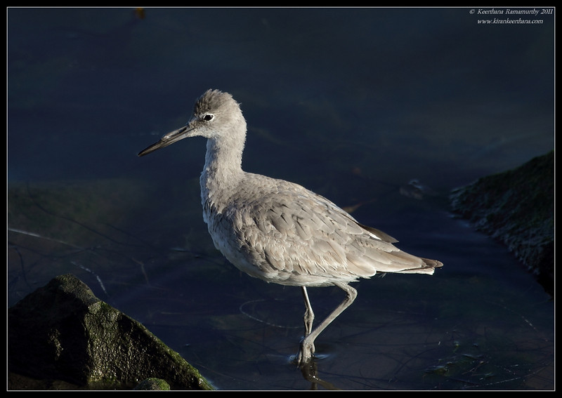 Willet, Flood Control Channel, San Diego RIver, San Diego County, California, April 2011