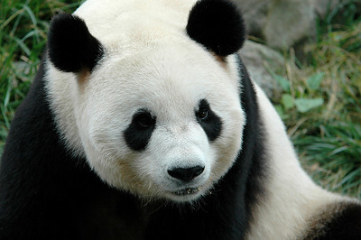 Pandas - Chinas Wolong Reserve
