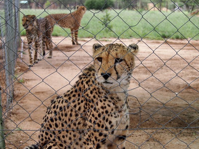 P3270972-cheetahs-in-cage.JPG