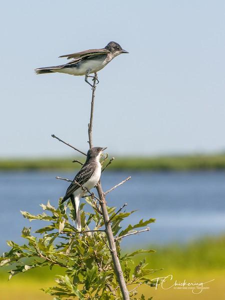 Eastern King Birds-1531687965958.jpg