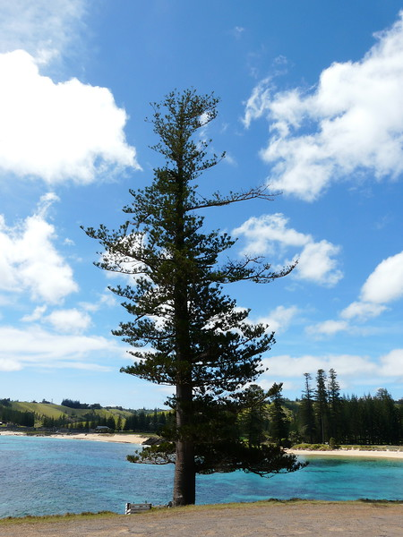 Sunday - This Norfolk Pine at Point Hunter was a mature tree when Captain Cook discovered the island in 1774.