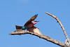 Carmine Bee-eater Take Off