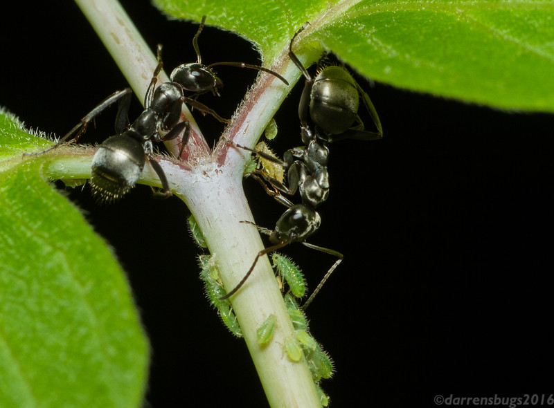 A pair of worker ants, Formica subsericea, tends to a small colony of aphids (Iowa, USA).