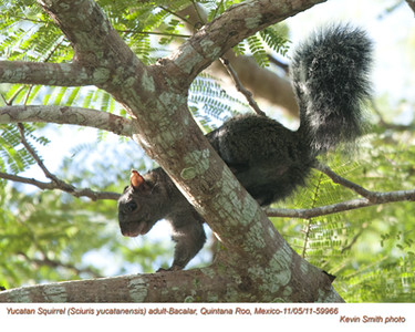 YucatanSquirrelA59966.jpg