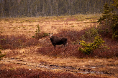 backyard moose april 2010