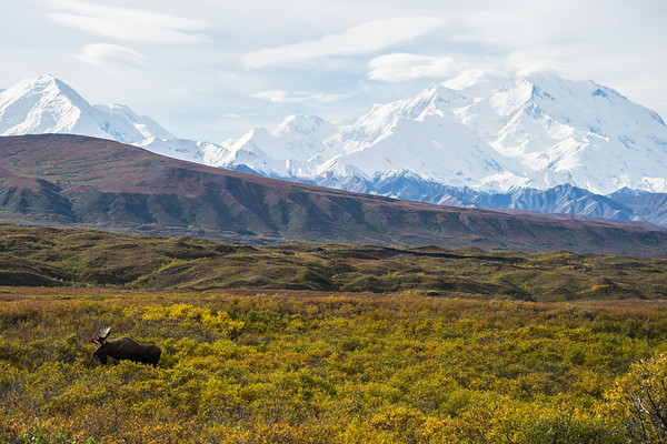 BULL MOOSE IN DENALI