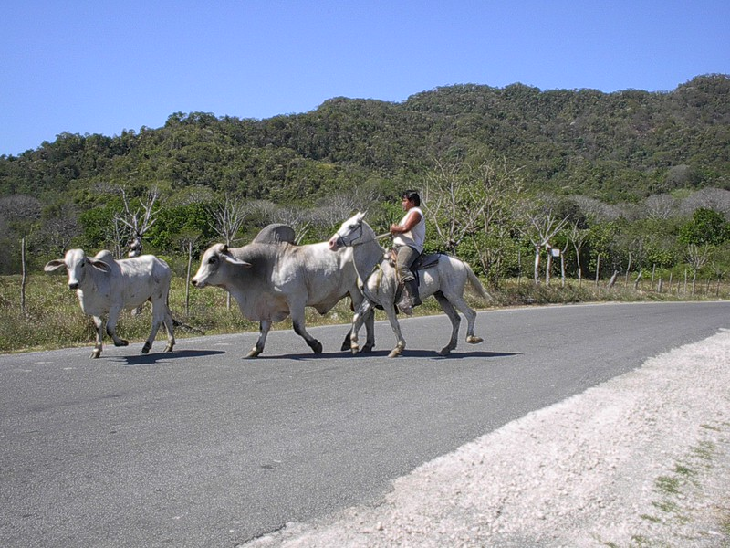 Running Cows in Costa Rica.jpg