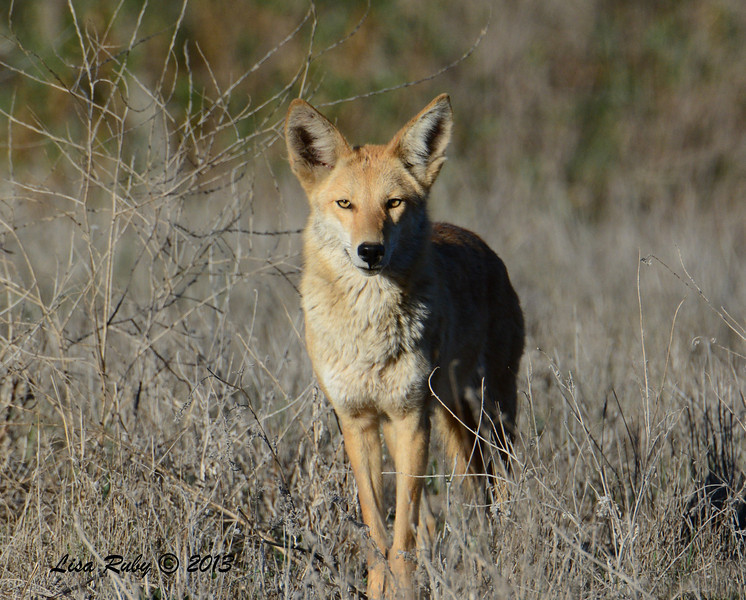 Coyote - 12/30/13 - San Pasqual Valley - Staring right at me