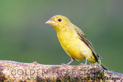 Scarlet Tanager, Costa Rica