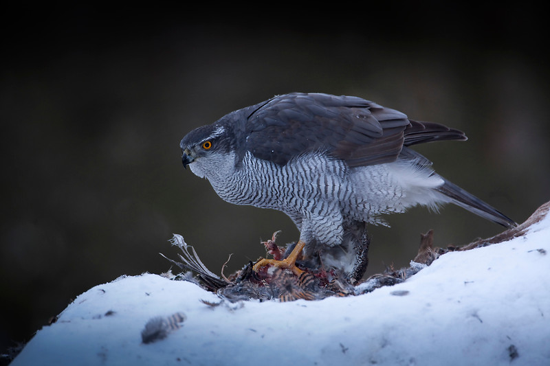 Goshawk Norway 2.jpg