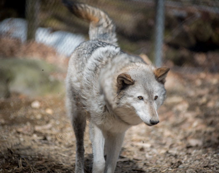 Runs with Wolves Sanctuary, Limington, Maine