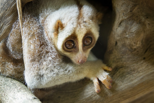The Fast Decline of the Slow Loris