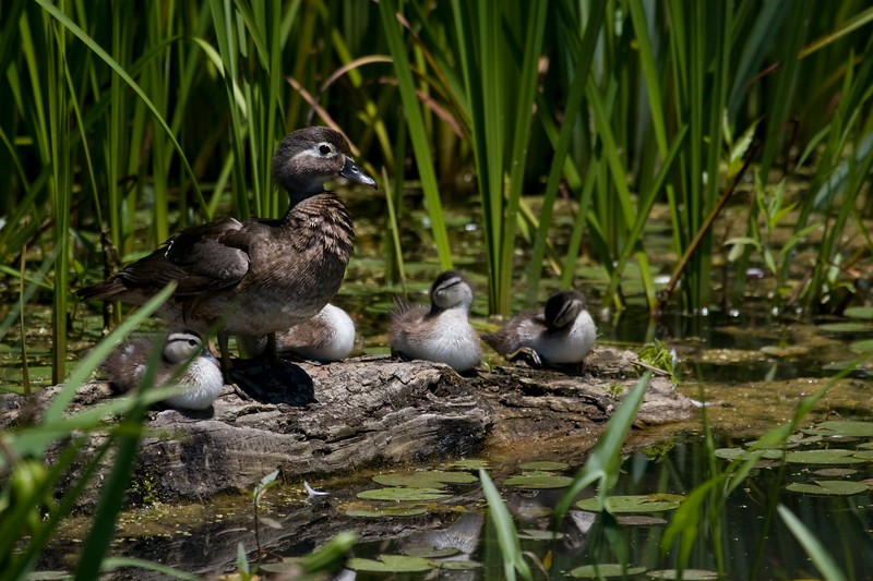 wood duck with chicks.jpg