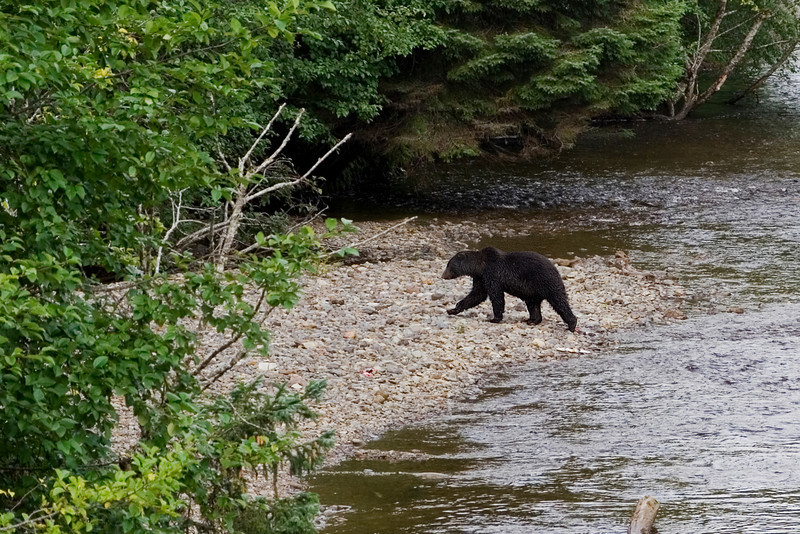 Bear in the River 2.jpg