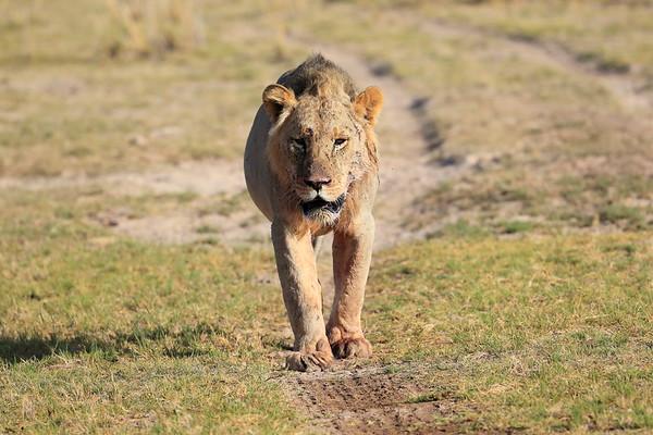 Adult Lions Mara Region Kenya 2017
